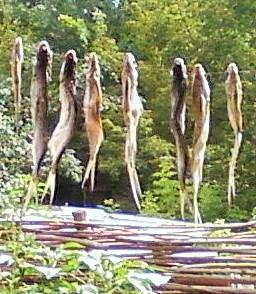рыба сушится на верёвке воо дворе