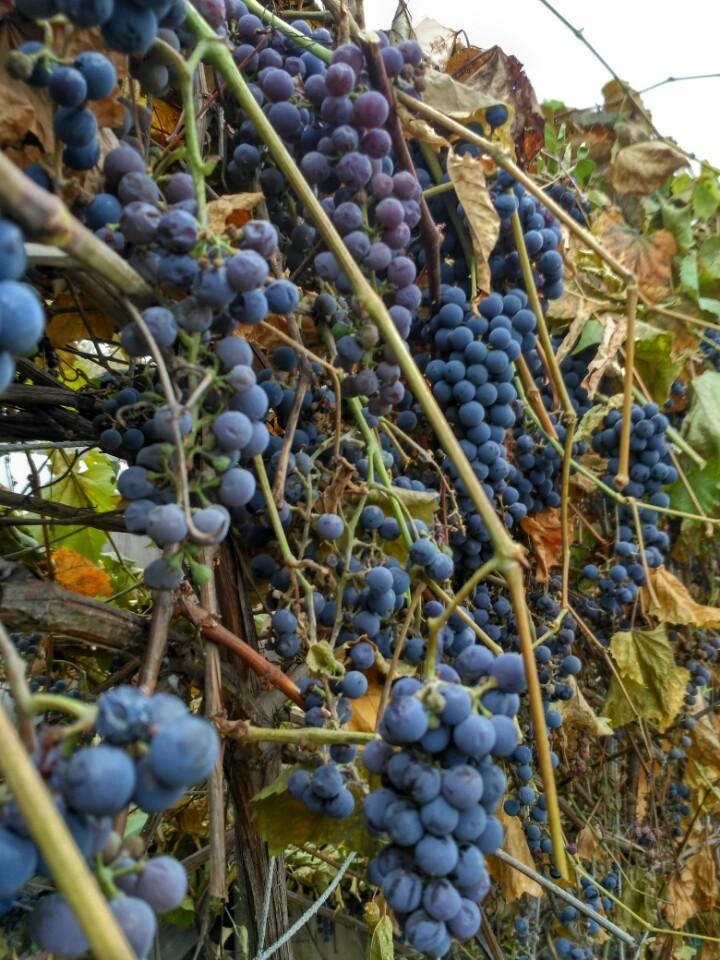 Винограда конце октября