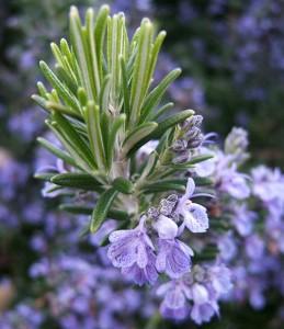 розмарин, цветы, специя, пряность, фото