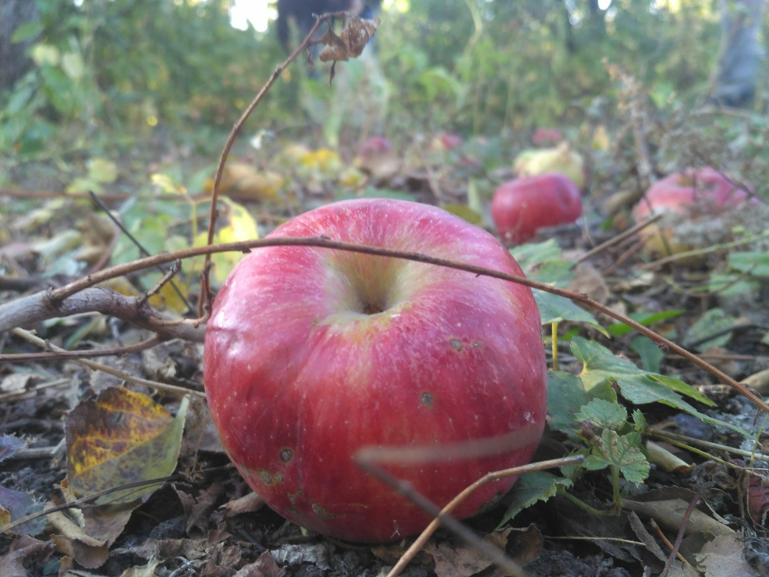 яблоки, красное яблоко, яблоко на земле